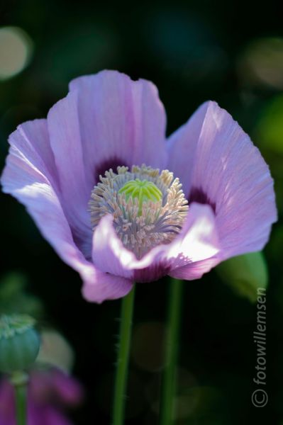 <strong>klaproos (Papaver)</strong>